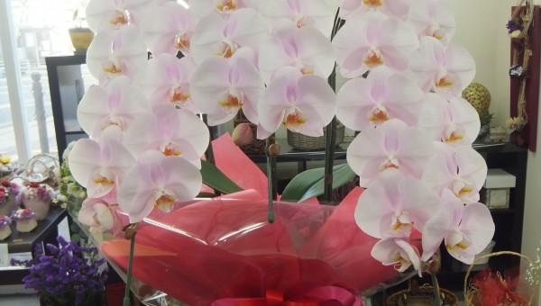 ピンク 胡蝶蘭